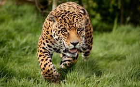 predator, leopard, meadow, grass