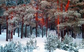 inverno, neve, boro, pino