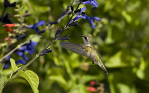 птица, колибри, цветы, синие, солнечно, полет