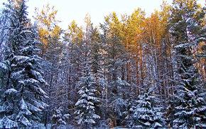 paesaggi, foresta, inverno, neve, sole, alberi, Abete, Alberi, pino