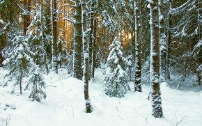 paesaggi, foresta, inverno, neve, sole, ramo, alberi, tronchi, Abete, a spina di pesce, gelo