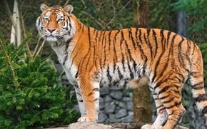 Tiger, Wald, Gut aussehend