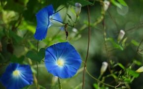 цветы, ипомея, вьюнок, лиана, синие, природа