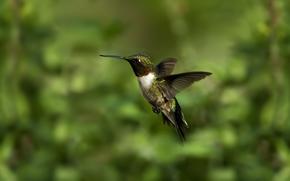 птица, колибри, макро, зелень, размытость