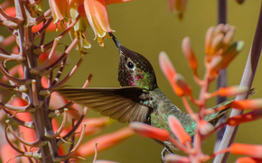 птица, колибри, цветы