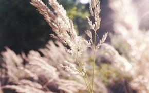 natura, erba, Macro, soleggiato, spighette, asciugare