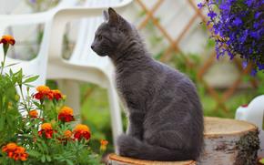gatto, gatto, fumoso, moncone, fiori, calendula, sedia, sfocatura