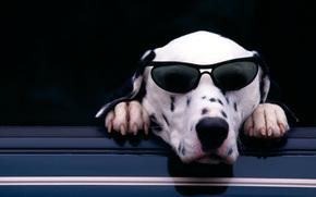dalmatian, dog, sunglasses, cute