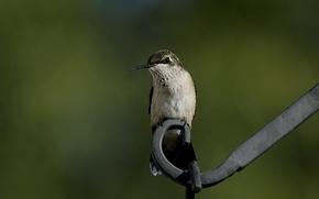 птица, колибри, зелень, сидя, металл, макро, размытость