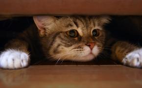 кот, лапы, пушистые, белые, глаза