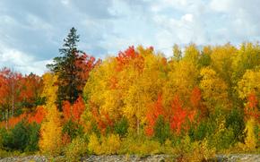 лес, золотая осень, березы, сосны, небо