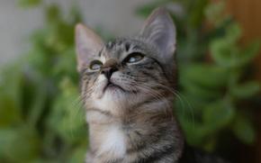 кот, кошка, серый, смотрит, полосатый