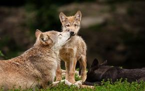 Wolves, pup, family of, Predators