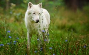 Arctic Wolf, predatore
