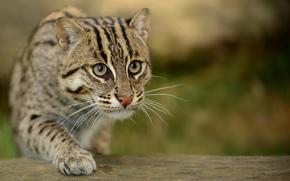 кошка, глаза, крадётся, размытость, макро, кошка-рыболов, крапчатая кошка