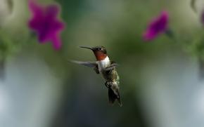 птица, колибри, полет, макро, размытость, цветы, зелень