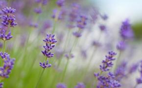 lavender, purple, Flowers, macro, blurring