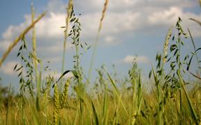 natura, estate, erba, campo, verdura, spighette