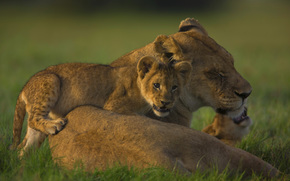 lioness, Cubs, pride, Family