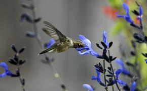 макро, птица, колибри, цветок, синий, полевой