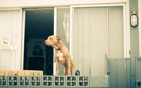 собака, дом, страж