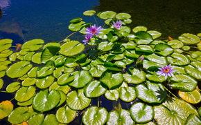 fiore, loto, ninfea