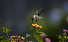 макро, птица, колибри, цветы, солнечно