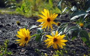 контраст, желтое, цветы, асфальт