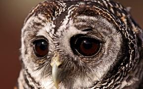 bird, неясыть, Owl, sovushka, sad sight, eyes