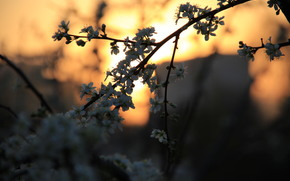 Kirsche, in, Farbe, Sonnenuntergang