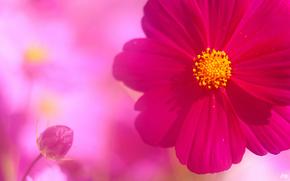 цветок, космея, розовый, бутон, лепестки