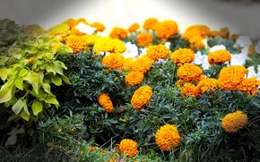 fiori, Macro, aiuola