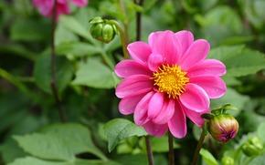 цветок, георгин, розовый, бутоны, листья, зелень