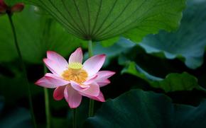 fiore, loto, sbocciato, fogliame
