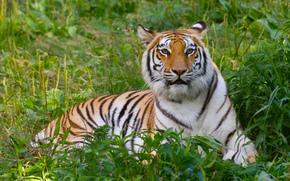Рыжие тигры » Галерея » Тигромания – всё о тиграх