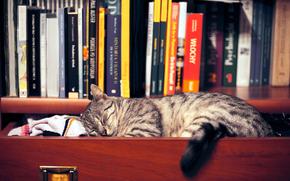 gato, estante, gabinete, Libros, ropa, dormir