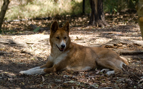dhole, dingo.lezhit, resting, shadow