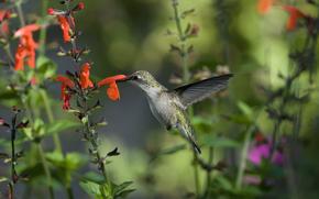 колибри, птица, зелень, макро, цветы