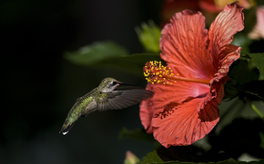 птица, колибри, цветок, гибискус, макро