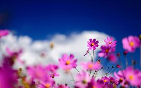 fiori, Macro, kosmeya, rosa, campo, sfocatura, cielo, nuvole