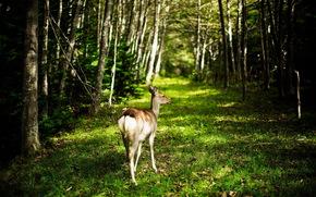 capriolo, foresta, natura