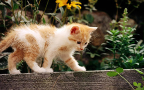 gatto, gatto, gattino, rosso, bianco, fiori