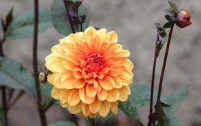 цветок, георгин, желто-розовый, бутоны, серый фон