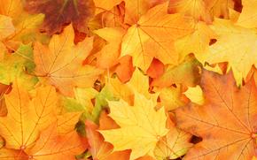 листья, осень, яркие краски, увядание