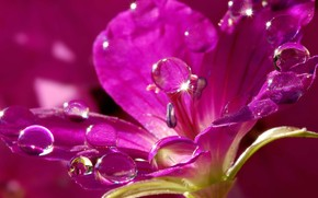 природа, цветок, лиловый, капли, вода, лепестки, искры
