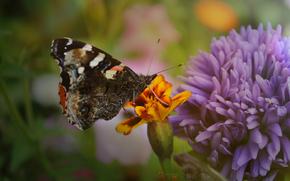 farfalla, meravigliosamente, insolito, Macro