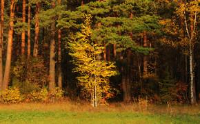 betulla, autunno, foresta, pino