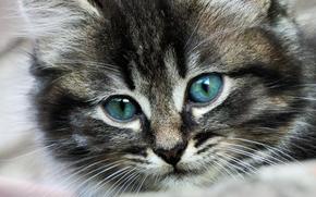 кот, глаза, усы