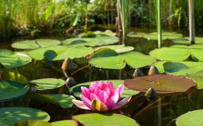 fiore, rosa, giglio di acqua, loto, giglio di acqua, natura, fogliame, acqua, stagno, lago