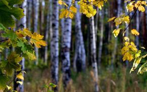 fogliame, ramo, foresta, autunno